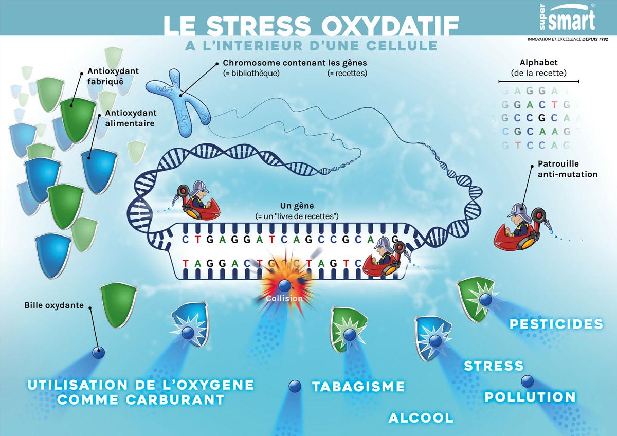 Illustration du stress oxydatif intra-cellulaire et les conséquences pour l'ADN
