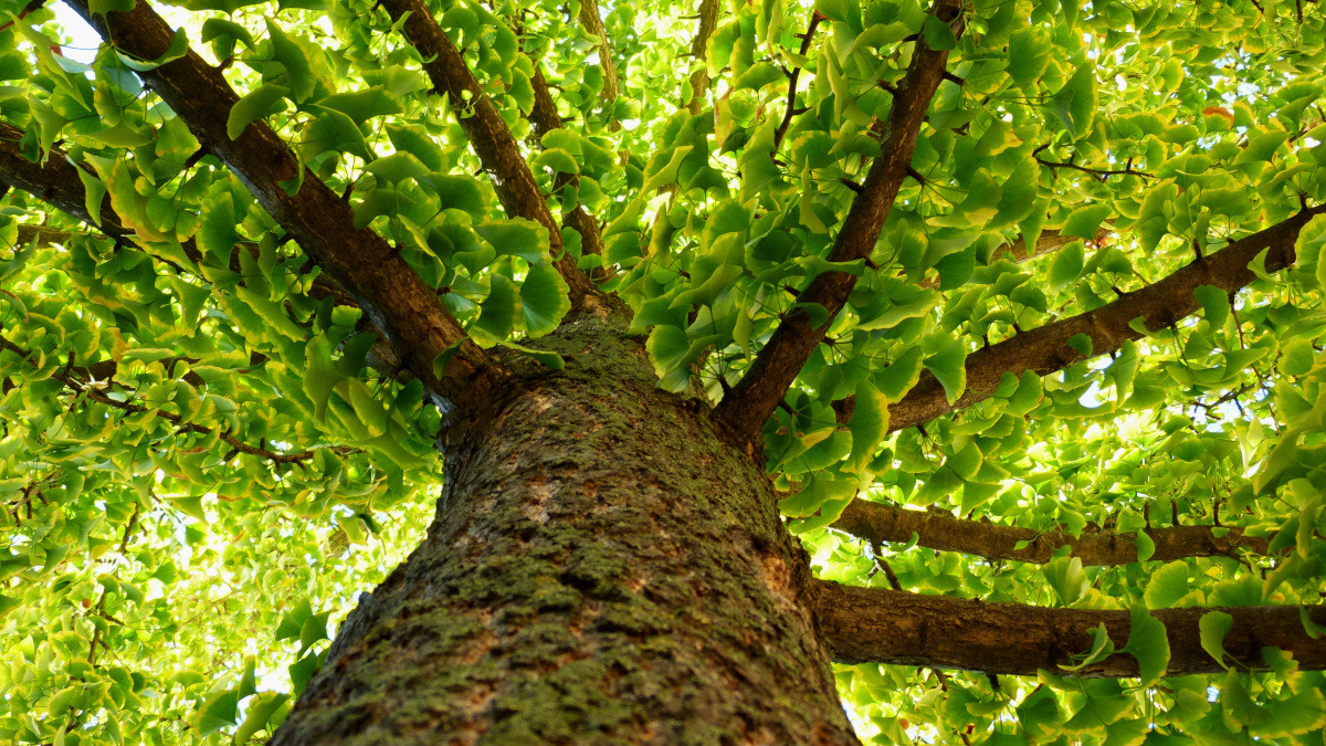 Trunk and leaves of the sacred tree Ginkgo biloba