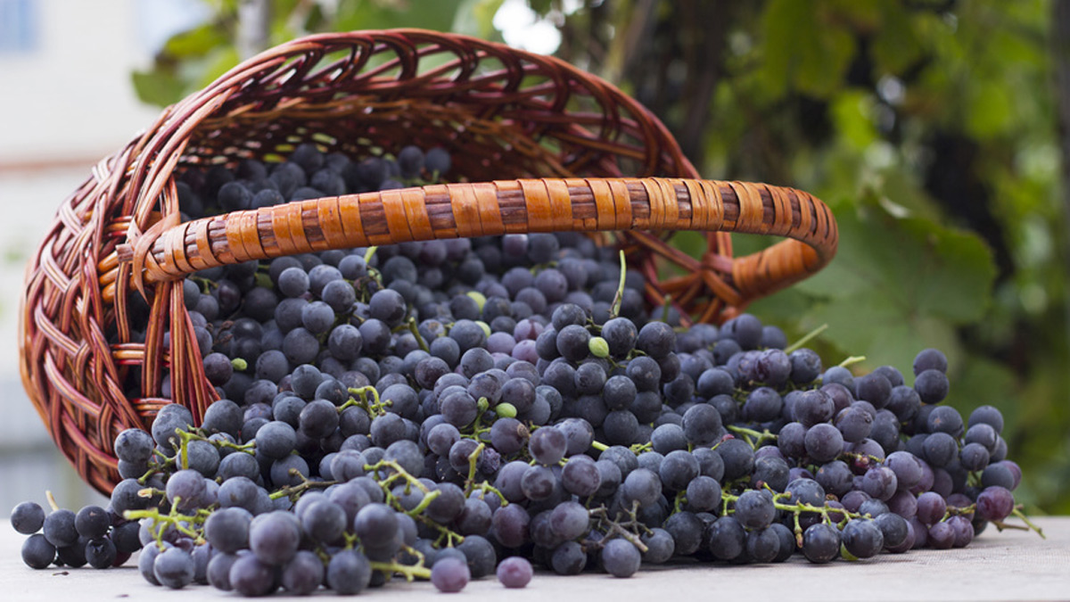 The Multiple Benefits Of Resveratrol A Strong Case For